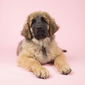 Photo of Leonberger puppy