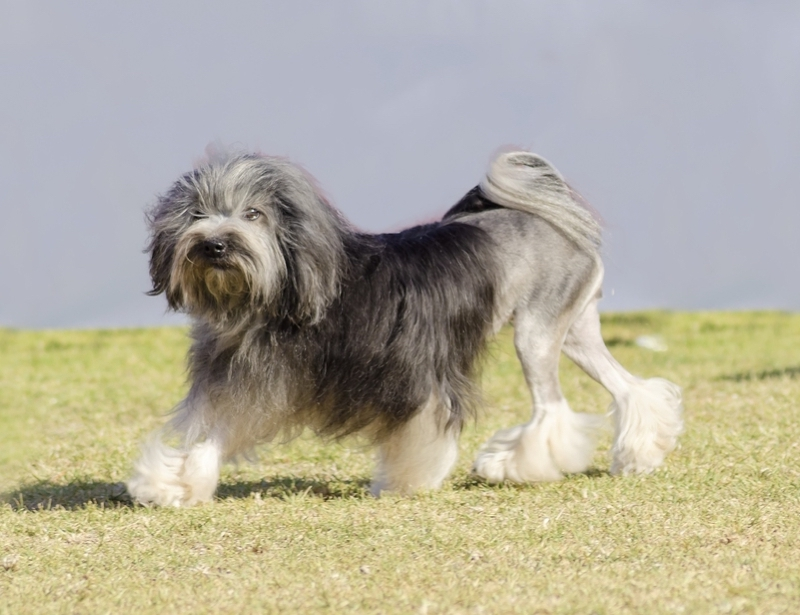 Löwchen Large Photo