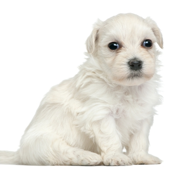Photo of Löwchen puppy