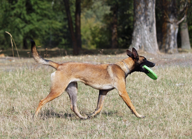 Malinois Dog Large Photo