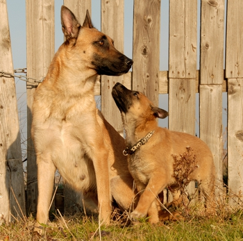 Photo of Malinois Dog puppy