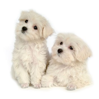 Photo of Maltese puppy