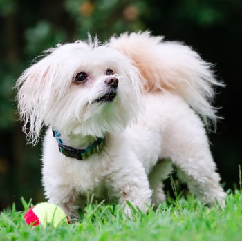 Photo of adult Maltipoo