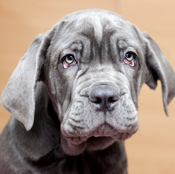 Photo of Neapolitan Mastiff puppy