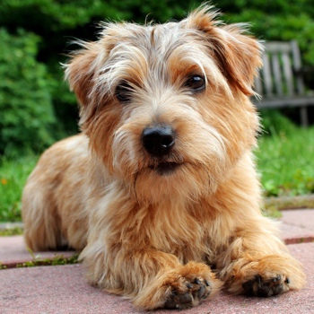 Photo of adult Norfolk Terrier