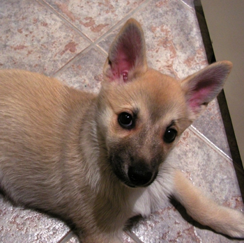 Photo of Norwegian Buhund puppy