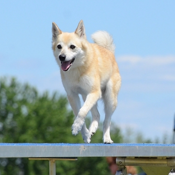 Photo of adult Norwegian Buhund