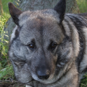 norwegian elkhound breed information characteristics heath