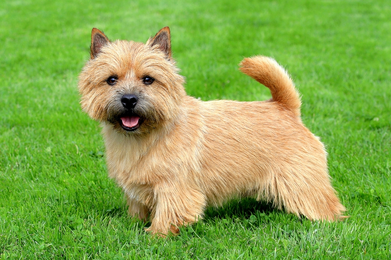 Norwich Terrier Large Photo