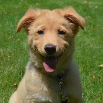 Photo of Nova Scotia Duck Tolling Retriever puppy