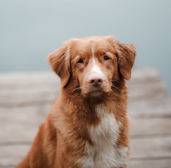 Photo of adult Nova Scotia Duck Tolling Retriever