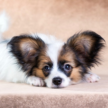 Photo of Papillon puppy