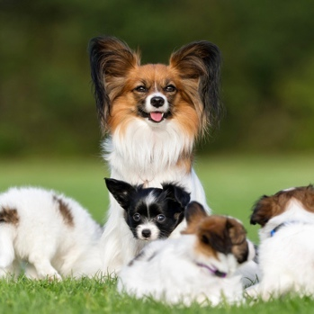 Photo of adult Papillon