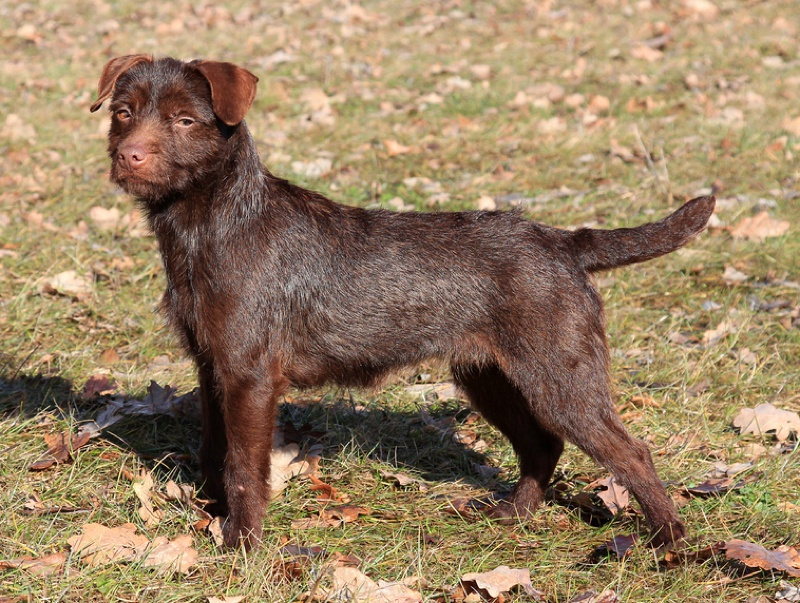 Patterdale Terrier Large Photo