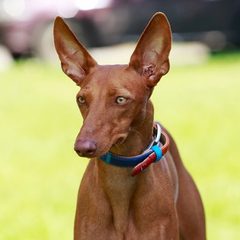 Photo of adult Pharaoh Hound