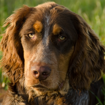 Photo of adult Picardy Spaniel