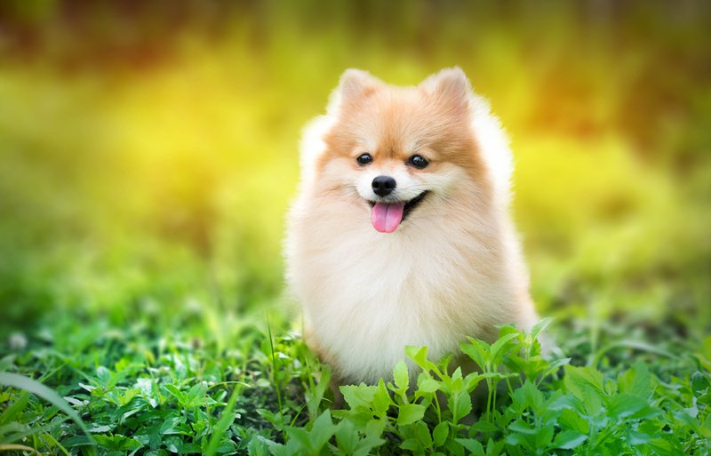 Pomeranian Large Photo