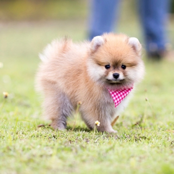 Photo of Pomeranian puppy
