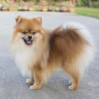 Photo of adult Pomeranian