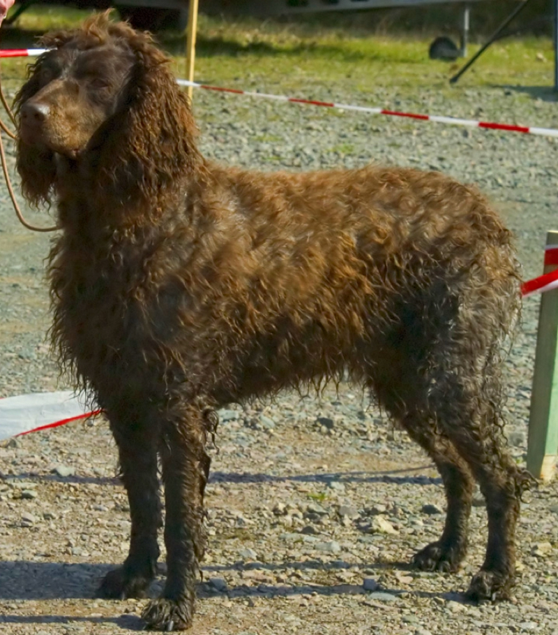 Pont-Audemer Spaniel Large Photo