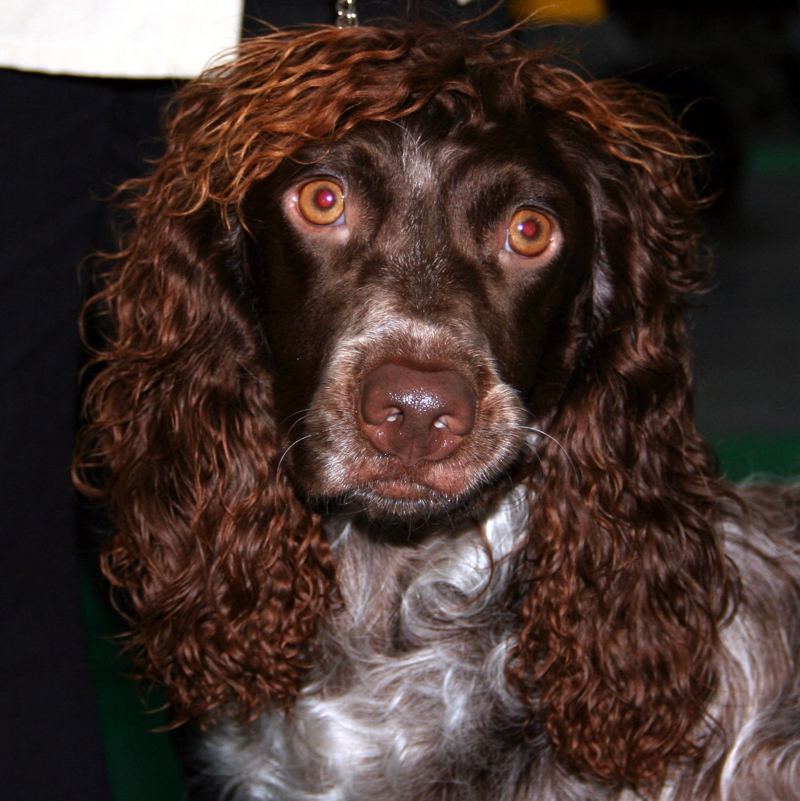 Photo of adult Pont-Audemer Spaniel