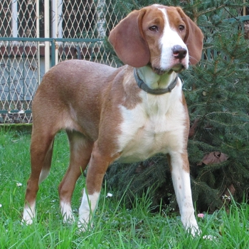 Photo of adult Posavac Hound