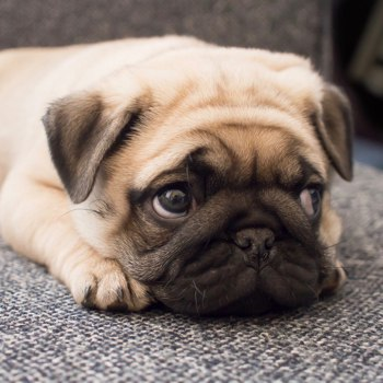 Photo of Pug puppy