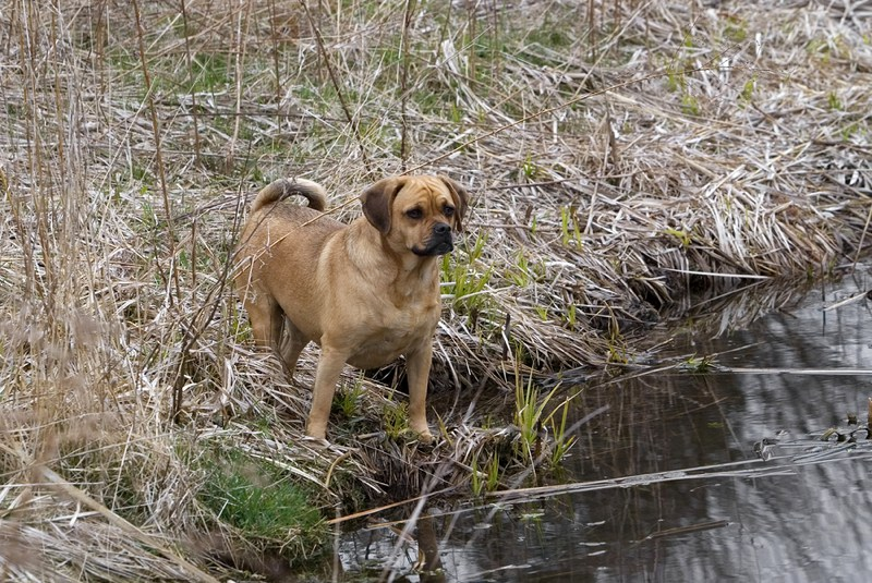 Puggle Large Photo