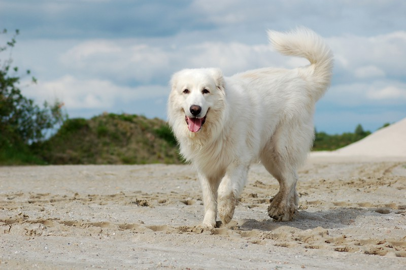 Pyrenean Mountain Dog Large Photo