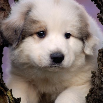 Photo of Pyrenean Mountain Dog puppy