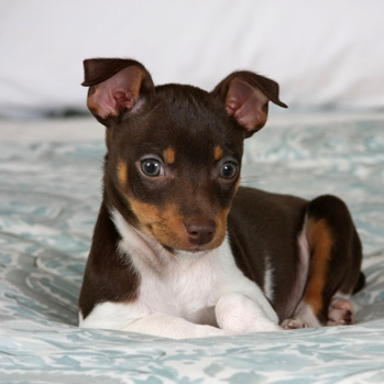 Photo of Rat Terrier puppy