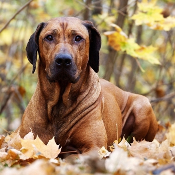 Rhodesian Ridgeback South Africa - Goldenacresdogs com