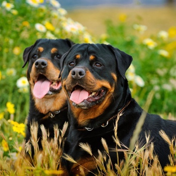 Photo of adult Rottweiler