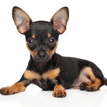 Russian Toy Terrier Breed Information Characteristics