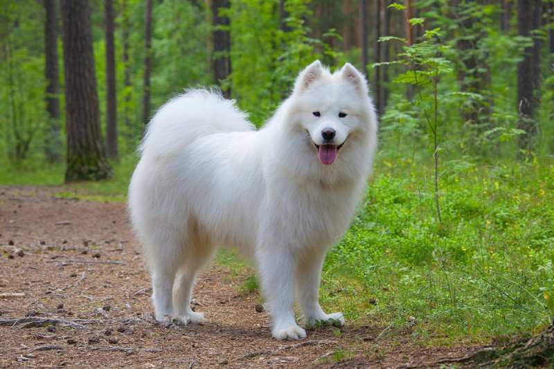 Samoyed Large Photo