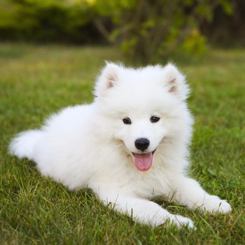 Photo of Samoyed puppy