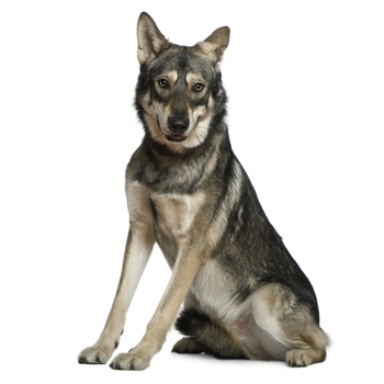 Photo of adult Saarloos Wolfdog