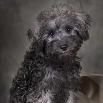 Photo of Schnoodle puppy