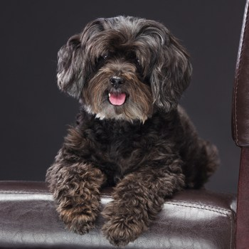 Photo of adult Schnoodle