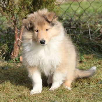Photo of Scotch Collie puppy