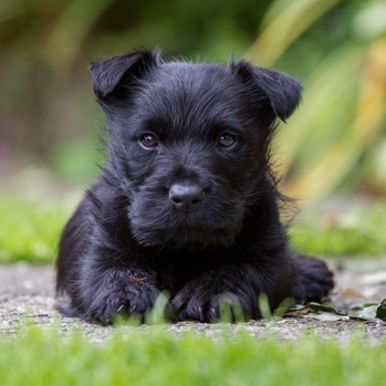 Photo of Scottish Terrier puppy