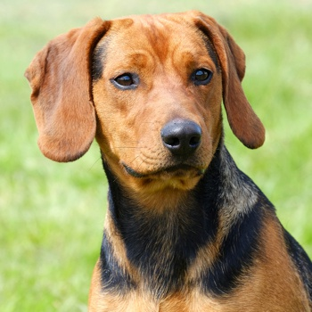 Photo of adult Serbian Hound