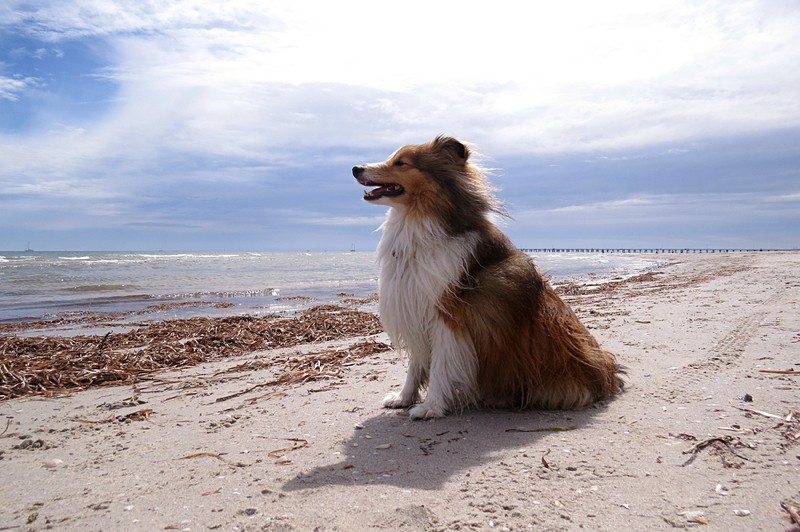 Shetland Sheepdog Large Photo