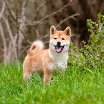 Photo of adult Shiba Inu