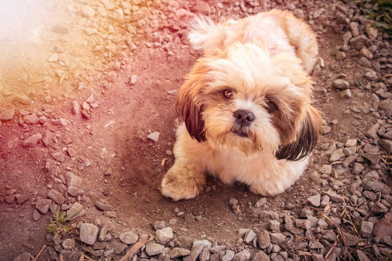 Shih Tzu Large Photo
