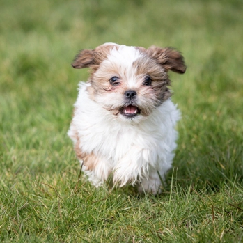 Photo of Shih Tzu puppy
