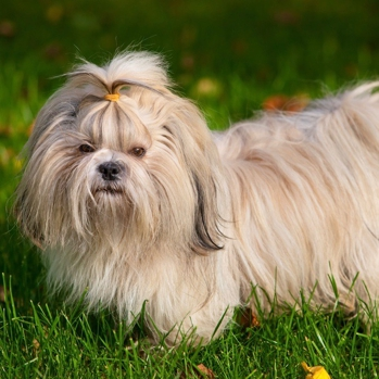 Photo of adult Shih Tzu