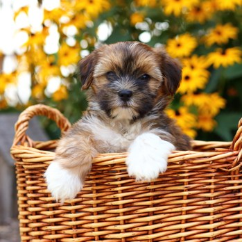 Photo of Shorkie puppy