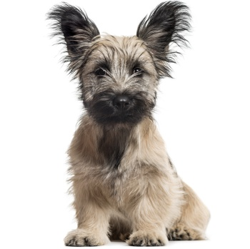Photo of Skye Terrier puppy