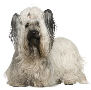 Photo of adult Skye Terrier